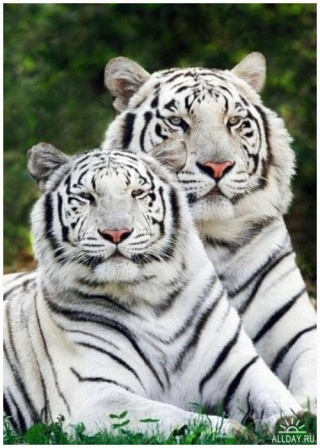 med_1234194443_white-tiger3.jpg