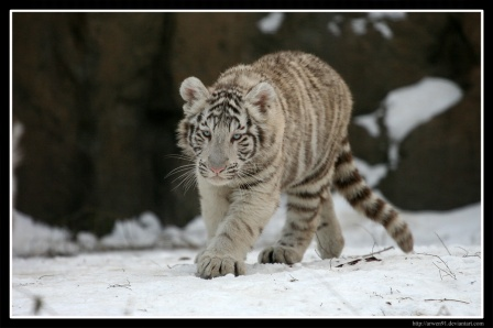 med_White_Tiger_III_by_Arwen91.jpg